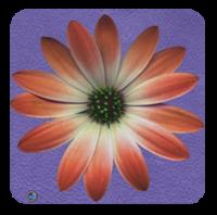 DAISY FLOWER POWER
